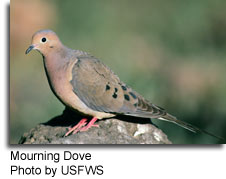 Mourning Dove, photo by USFWS