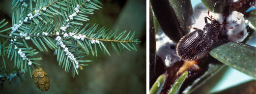 Eastern Hemlock Brnach and Tooth-Necked Fungus Beetle
