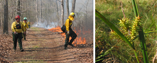 Prescribed Burn, Red Maple and Sweetgum Trees