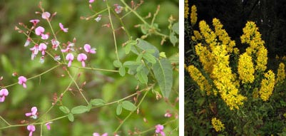 Rigid tre-foil (left) photo by R.H. Wiegand; Showy Goldenrod, photo by Kerry Wixted