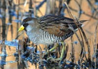 Sora foraging - Photo by Dave Menke/ USFWS