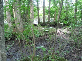 Tidal Hardwood Swamp, photo by Peter Strango, III