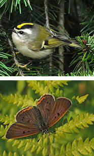 Golden-crowned kinglet (top) by Wikimedia Commons; Bog Copper butterfly, photo by Ed Post
