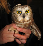 Northern Saw-whet Owl, photo by Kerry Wixted