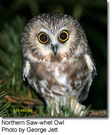 Northern Saw-whet Owl, photo by George Jett