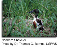 Northern Shoveler, photo by Dr. Thomas G. Barnes, USFWS
