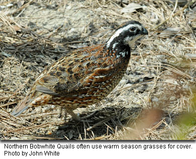 Northern Bobwhite Quails often use warm season grasses for cover. Photo by John White