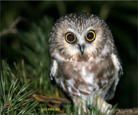 Photo of Northern Saw-whet Owl, courtesy of George Jett