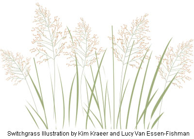 Switchgrass illustration by Kim Kraeer and Lucy Van Essen-Fishman