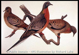 Passenger Pigeons (now extinct), NPS Illustration by Richard Lake
