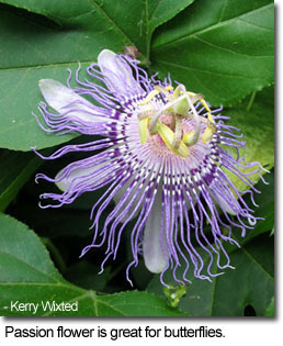Passionflower is great for butterflies - photo by Kerry Wixted