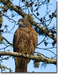 Perched_Red-tailedHawk_USFWS.jpg