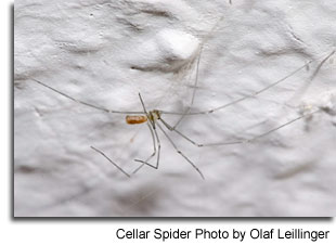Cellar Spider Photo by Olaf Leillinger