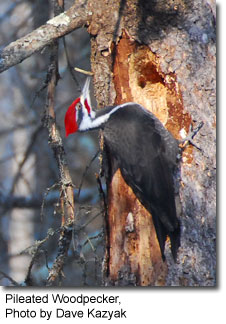 Pileated Woodpecker, photo by Dave Kazak