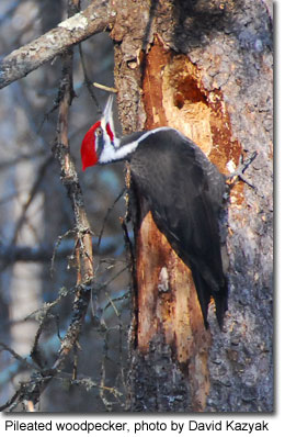 Pileated woodpecker, photo by David Kazyak