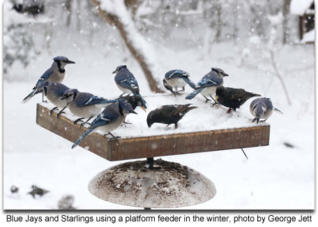 Blue Jays and Starlings using a platform feeder in the winter, photo by George Jett