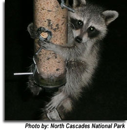 Racoon on the bird feeder.