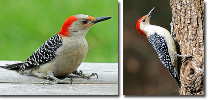 Red-belliedWoodpecker_Female_Male.jpg