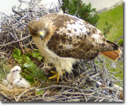Red-tailed Hawk with chicks, courtesy of University of Wisconsin, Madison