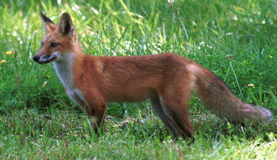 Photograph of adult red fox in meadow, courtesy of Pennsylvania Game Commission