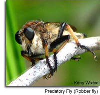 Predatory Fly (Robber fly) photo by Kerry Wixted