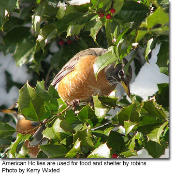 Robin in American Holly, photo by Kerry Wixted