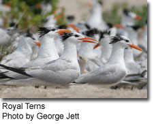 Royal Terns, photo by George Jett