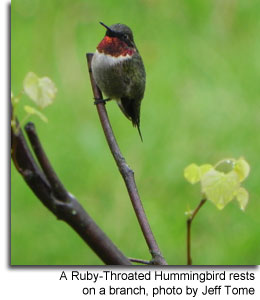 A Ruby-Throated Hummingbird rests on a branch, photo by Jeff Tome