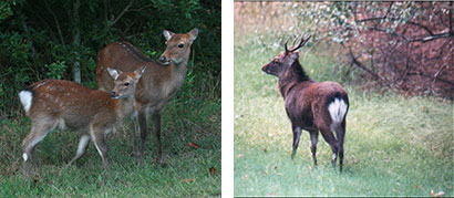 Sika hind and fawn at Assateague Island by Nancy Magnusson Flickr CC BY-NC 2.0 (left). Sika stag by Brian Eyler, MD DNR.