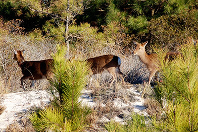 Sika deer by Michael Ostendorp Flickr CC BY-NC 2.0
