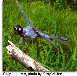 Slaty skimmer, photo by Kerry Wixted