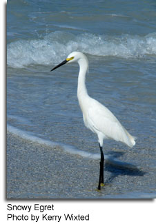 Snowy Egret, Photo by Kerry Wixted