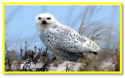 Snowy Owl Photo links to MPT Video segment on snowy owl