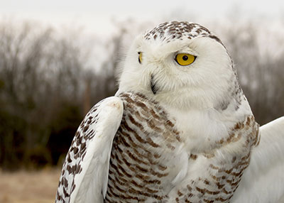 Monocacy, a female snowy owl banded in  Maryland in 2014 by Kerry Wixted