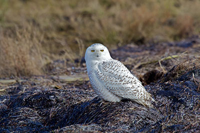 Snowy owl in Vancouver by David Syzdek (Flickr, Creative Commons)