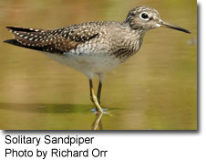 Solitary Sandpiper, photo by Richard Orr
