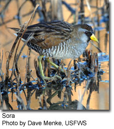 Sora, photo by Dave Menke, USFWS