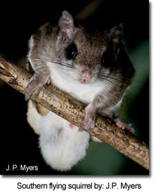 SouthernFlyingSquirrel_JPMyers.jpg