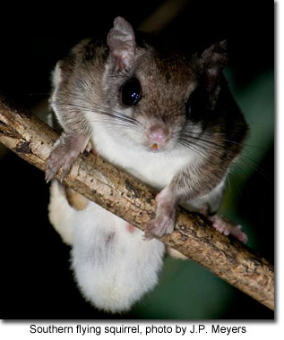 Southern flying squirrel, photo by J.P. Meyers