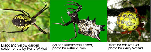 Photo Collage of Orb-Weavers /