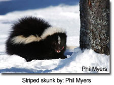 Striped skunk by: Phil Myers