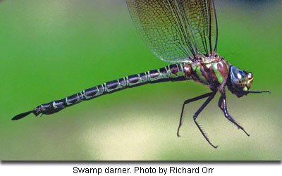 Swamp darner by Richard Orr
