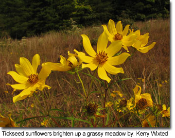Tickseed sunflowers brighten up a grassy meadow by: Kerry Wixted