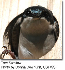 Chickadees and Titmice Tree Swallow, photo by Donna Dewhurst, USFWS