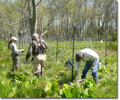 Volunteers install a deer fence in Carroll County to protect newly planted turtlehead. (Photo by J. Frye)