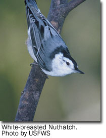 White-breasted Nuthatch, photo by USFWS