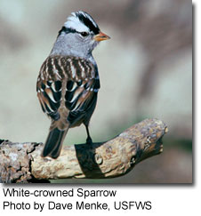 White-crowned Sparrow, photo by Dave Menke, USFWS