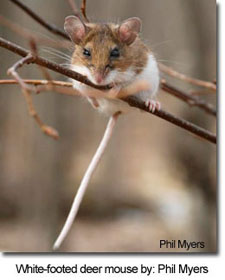White-footed deer mouse by: Phil Myers
