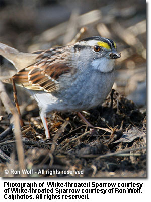 White-throated_Sparrow.jpg
