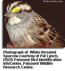 White-throated_Sparrow_Lynch.jpg